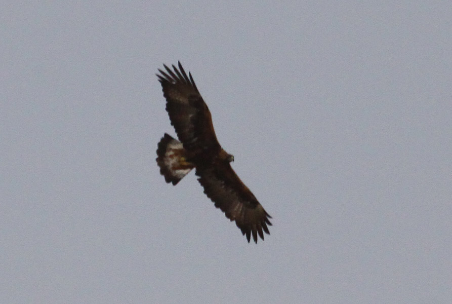Golden Eagle (Aquila chrysaetos homeyeri). Birds of ...