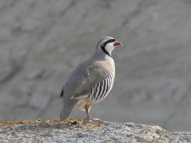 Chukar partridge Different Breeds